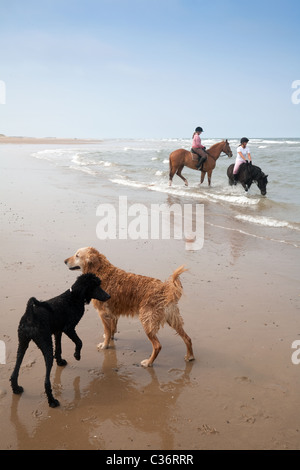 Girls riding their horses with their dogs on Holkham beach,  Norfolk coast, UK - Stock Photo