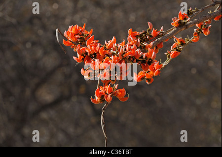 Flowers of 'Flame of the forest' tree (Butea monosperma) in full bloom in Ranthambore national park - Stock Photo