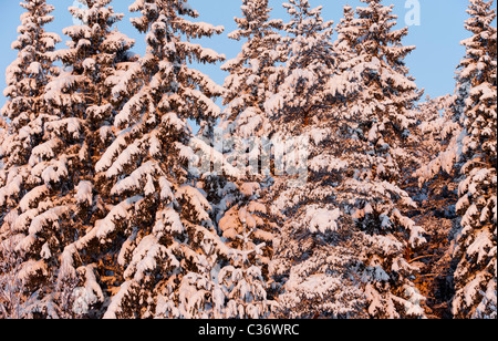View of snow covered spruce ( Picea Abies ) treetops in the forest - Stock Photo