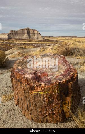Petrified wood from extinct Araucarioxylon arizonicum Trees, Crystal Forest area, Petrified Forest National Park, - Stock Photo