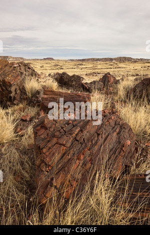 Petrified wood from extinct Araucarioxylon arizonicum Trees, in Long Logs area of Petrified Forest National Park, - Stock Photo