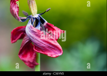 Dead wilting red tulip showing stamen and stigma in a garden - Stock Photo