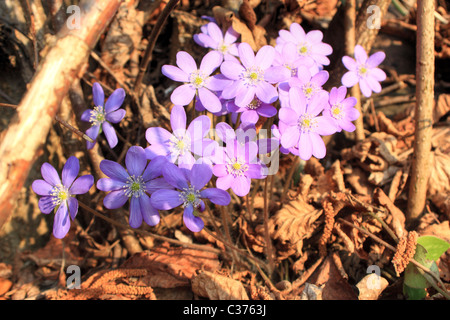 Hepatica nobilis, Common Hepatica, Liverleaf, Liver Leaf, Liverwort  -  Italy - Stock Photo