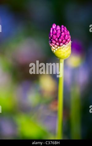 Allium hollandicum 'Purple Sensation'. Ornamental Onion flower  emerging from bud - Stock Photo