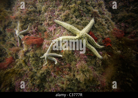 Three common starfish (Asterias rubens) cling to a rock in the waters of the Atlantic Ocean in the Outer Hebrides - Stock Photo
