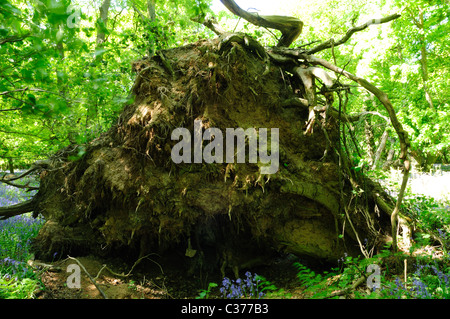 Fallen Uprooted Oak Tree . - Stock Photo
