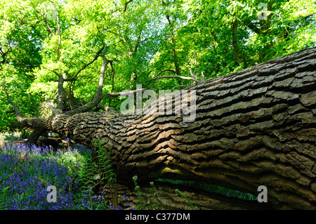 Fallen Oak In English Deciduous Woodland. - Stock Photo