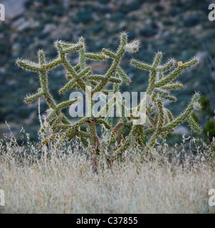 Cholla cactus and other faoilage in the desert foothills of the Sandia mountains, New Mexico, USA. - Stock Photo