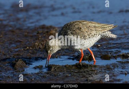 Redshank (Tringa totanus), adult foraging in shallow water. - Stock Photo
