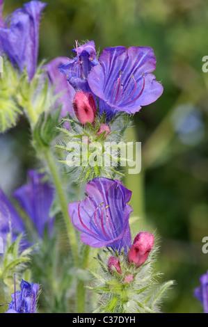 Wild flowers of Greece during springtime, echium plantagineum - Stock Photo