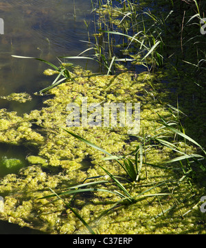 Algae on stagnant water. - Stock Photo