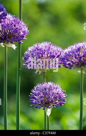 Allium hollandicum 'Purple Sensation'. Ornamental Onion flowers - Stock Photo