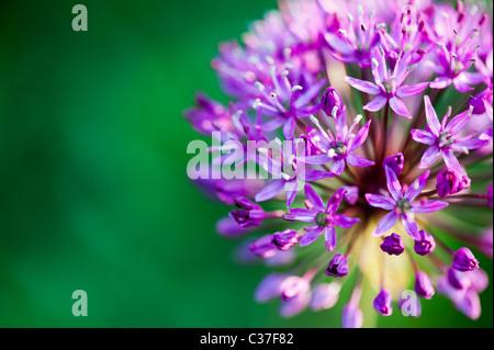 Allium hollandicum Purple Sensation flowers. Selective focus - Stock Photo