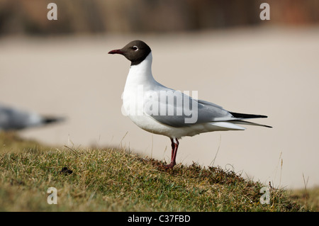 Adult Black-headed gull - Larus ridibundus. North-west Scotland, UK. - Stock Photo