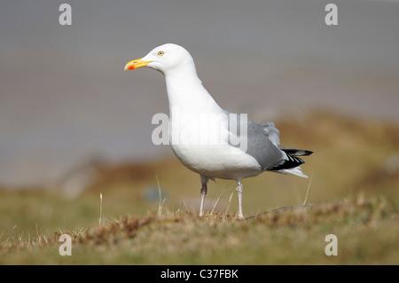 Adult Herring gull - Larus argentatus. North-west Scotland, UK. - Stock Photo