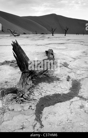Remains of camel thorn trees in Dead Vlei, Namibia, Africa - Stock Photo