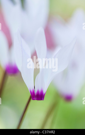Cyclamen persicum var. persicum f. puniceum 'Tilebarn Karpathos' flower - Stock Photo