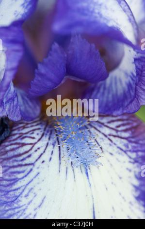 Intermediate bearded iris 'artic fancy' flower - Stock Photo