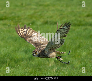 African Spotted Eagle Owl (Bubo africanus) Captive - Stock Photo