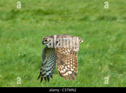 African Spotted Eagle Owl (Bubo africanus) in flight - Stock Photo