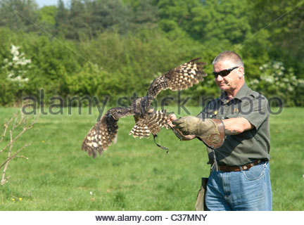 African Spotted Eagle Owl (Bubo africanus) with handler - Stock Photo
