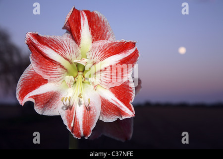 Amaryllis flower with sky and moon in the background. - Stock Photo