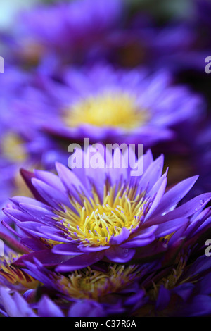 Water lilies , the national flower of Sri Lanka Asia - Stock Photo