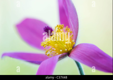 A single purple flower head of Pulsatilla vulgaris - Pasque flower, pasqueflower - Stock Photo