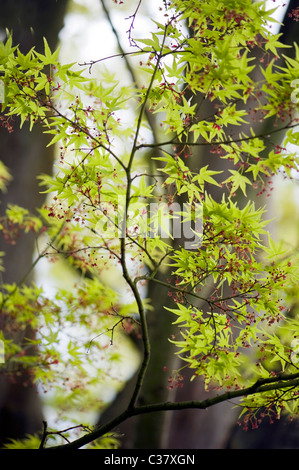 Japanese maple leaves in spring - Acer Japonica - Stock Photo