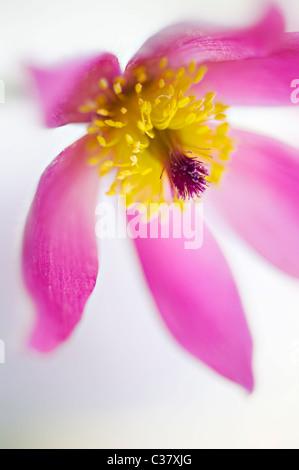A single purple flower head of Pulsatilla vulgaris - Pasque flower, pasqueflower - Stock Photo