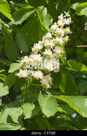 European Chestnut Tree with Flowers in Spring - Stock Photo