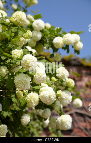White flowering shrub or tree shot against bright blue summer sky with red stone out of focus - Stock Photo