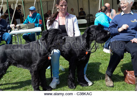 Dilwyn village show, Herefordshire, UK. Casual shot of two giant schnauzer dogs with woman outside at fete, England. - Stock Photo