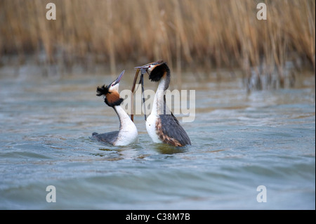 Great Crested Grebe (Podiceps cristatus). DANCING WITH WEED. French: Grèbe huppé German: Haubentaucher Spanish: - Stock Photo