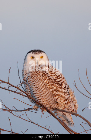 Snowy Owl (Bubo scandiacus, Nyctea scandiaca), adult female perched on a twig. - Stock Photo