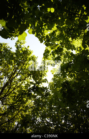 Green leaves on overhanging tree shot against sky. Sun light shines through to create light and dark contrasts - Stock Photo