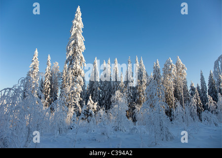 View of snow covered spruce ( Picea Abies ) trees in the forest , Finland - Stock Photo