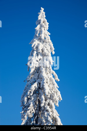 View of snow covered spruce ( Picea Abies ) treetop , Finland - Stock Photo