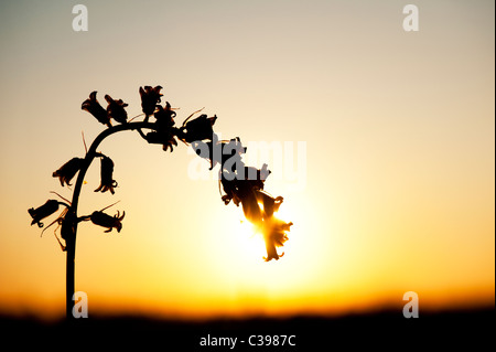 Hyacinthoides non scripta. Single bluebell flower silhouette at sunset in the english countryside - Stock Photo
