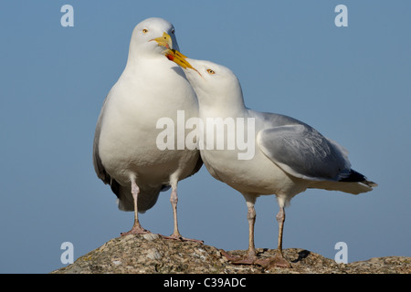 A Pair of seagulls (herring gulls) on the sea wall in St Ives, Cornwall - Stock Photo