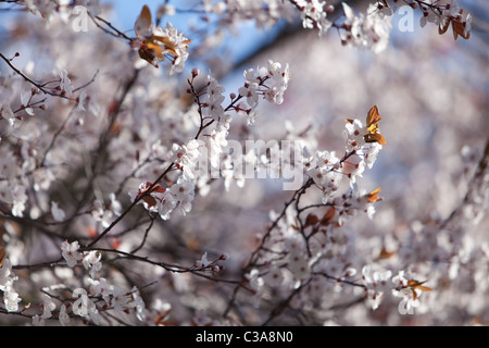Spring Blossoms England UK - Stock Photo