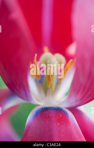 Tulipa. Pink Tulip showing pistil, stigma and stamens - Stock Photo