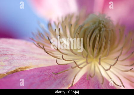 A Close up of a Clematis Asao - Stock Photo