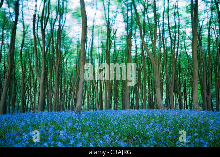 Bluebells (Hyacinthoides non-scripta) in Beech (Fagus sp) Woodland on a windy day. Priors Wood. North Somerset. England. UK.