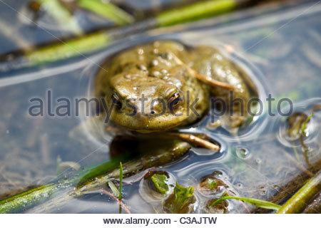 European common toad - Bufo bufo - Stock Photo