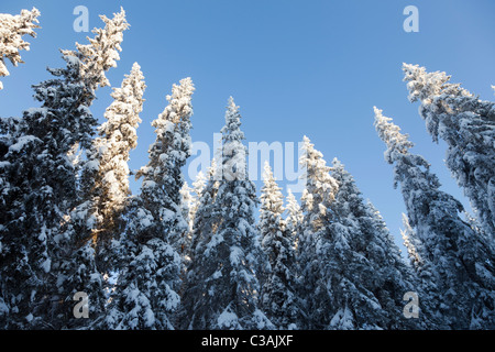 View of snow covered spruce ( Picea Abies ) treetops in the forest , at Winter Finland - Stock Photo