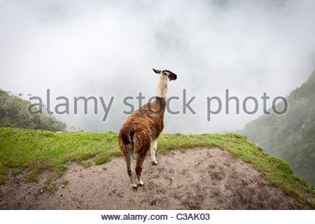 A Llama (L. glama) overlooking the foggy valley at Machu Picchu, Peru. - Stock Photo