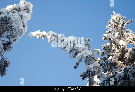 Snow load bends spruce ( Picea Abies ) treetops in the forest - Stock Photo