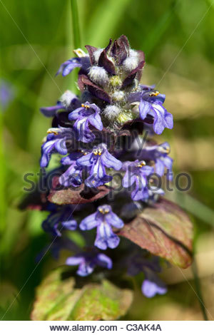 Ajuga reptans commonly known as Blue bugle, Bugleherb, Bugleweed, Carpetweed, Carpet Bungleweed, Common bugle, or - Stock Photo