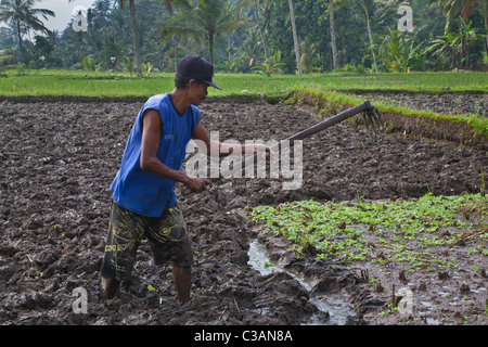 A BALINESE farmer plows his field - TAMPAKSIRING, BALI, INDONESIA - Stock Photo